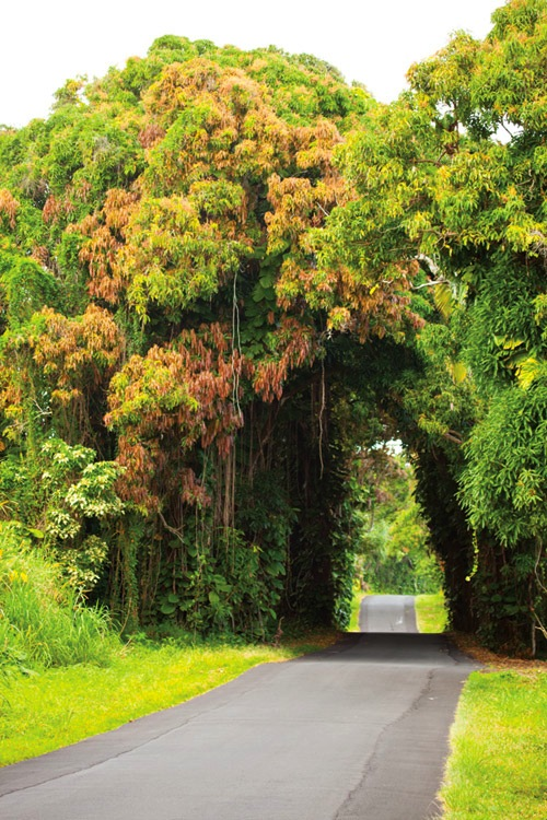 A mango tree canopy on Red Cinder Road. Photo by Jack Wolford.